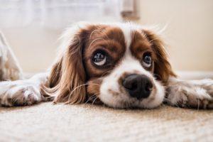 糖尿病を治療する犬